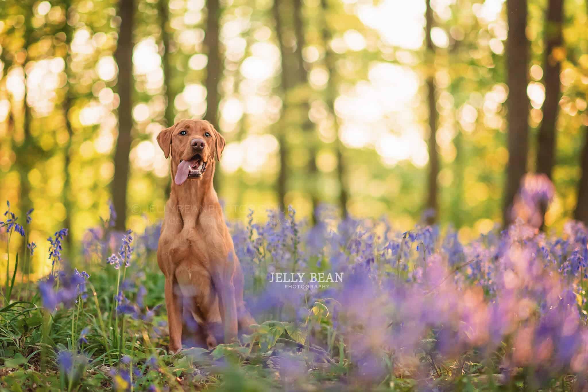 Dog posing in bluebells at sunset