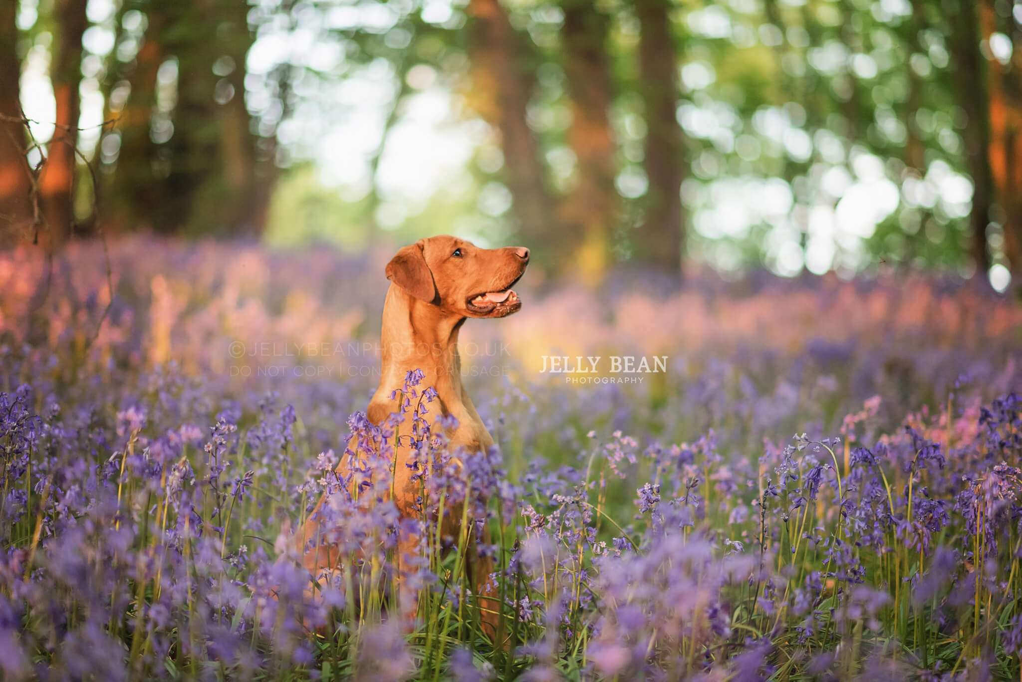 Red lab in bluebells at sunset