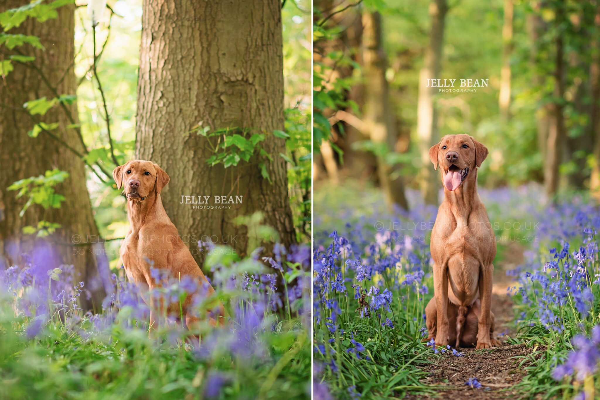 Labrador sitting in bluebell woods
