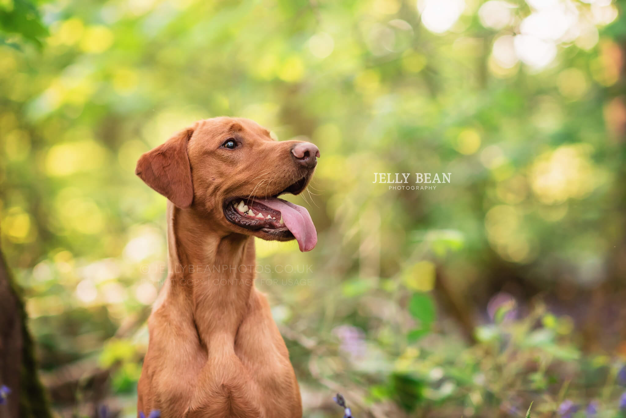 Red labrador portrait photography