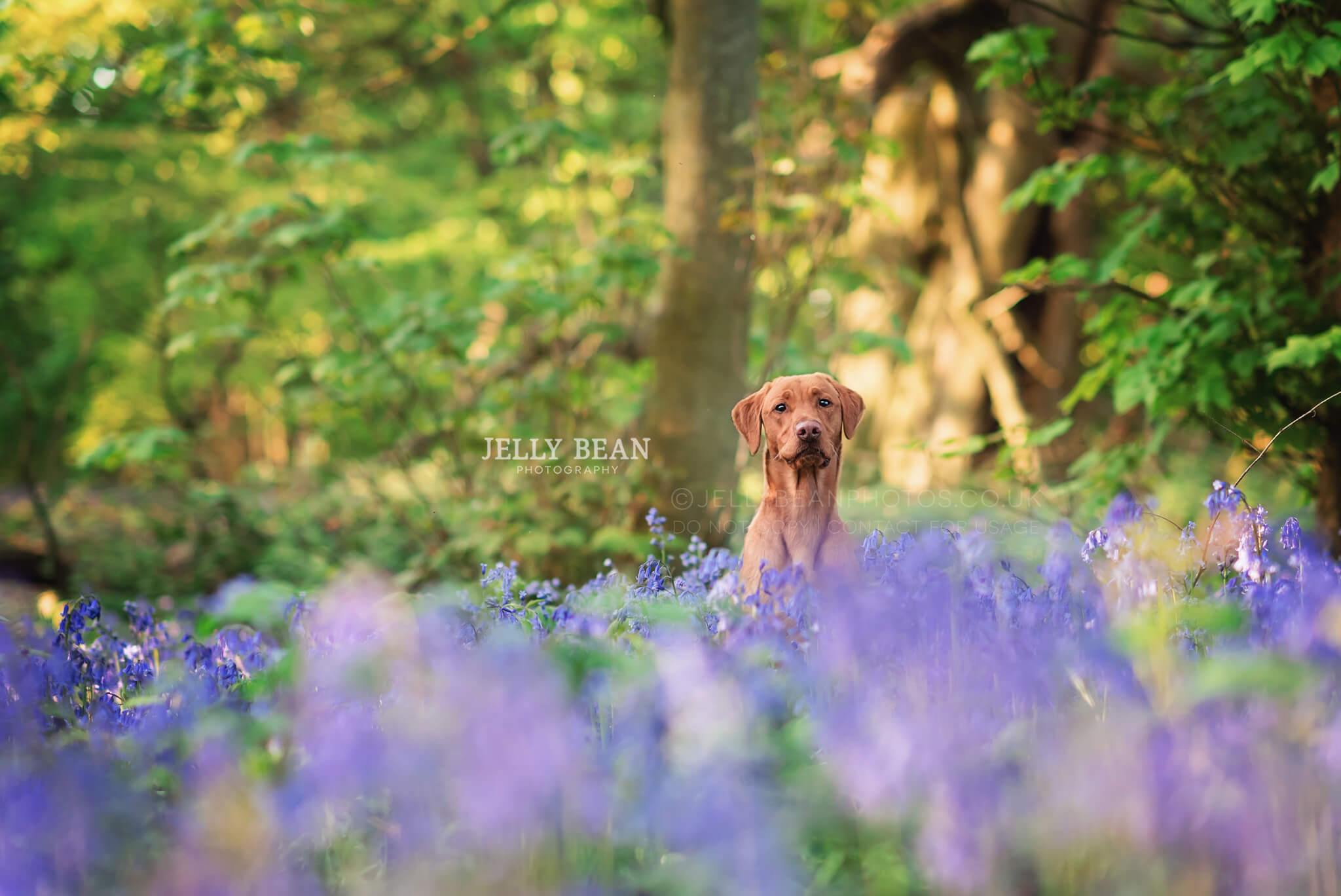 Labrador in the middle of a bluebell patch