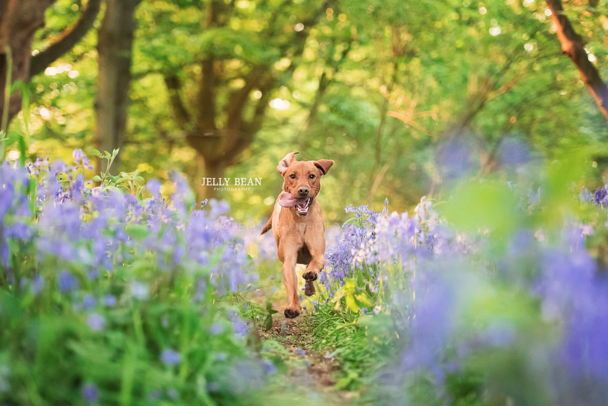 Labrador running through bluebells