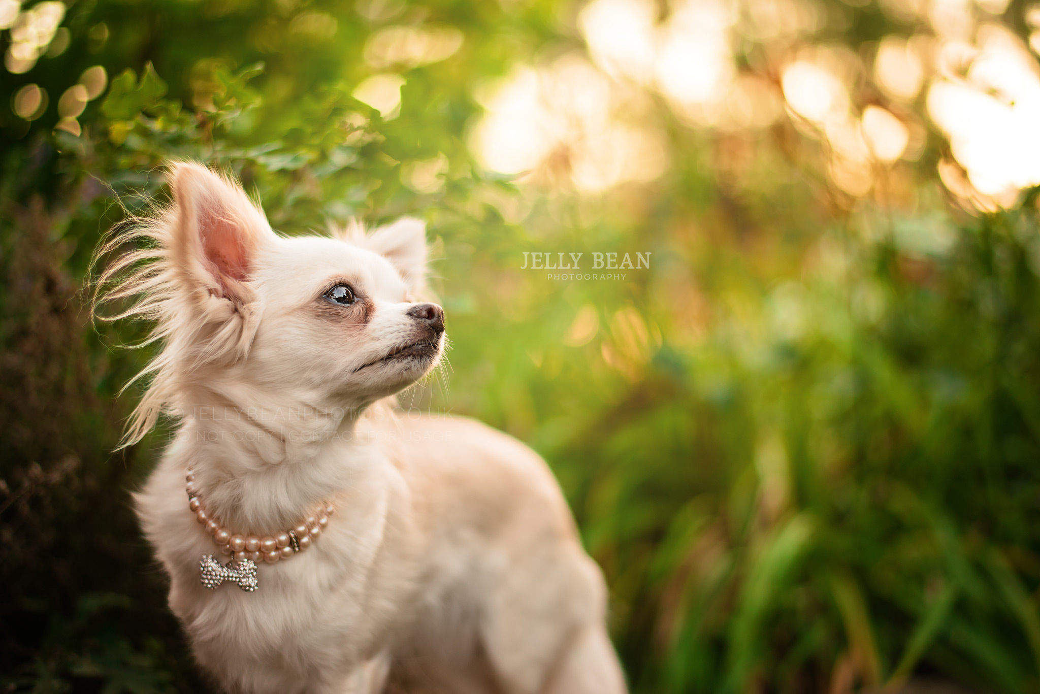 Chihuahua wearing pearl necklace