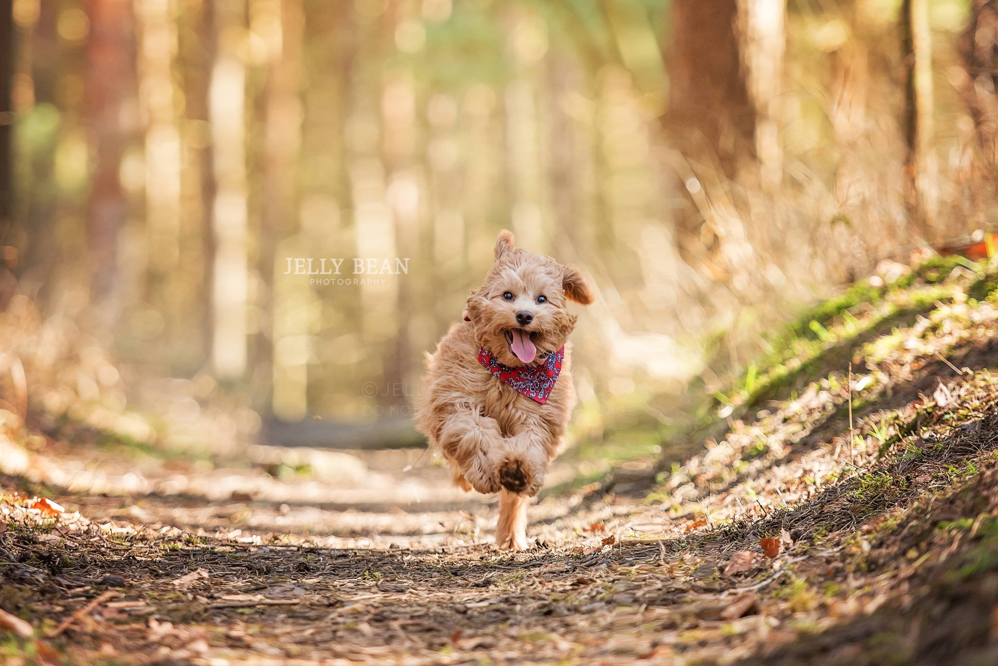 Cockapoo puppy running in woods
