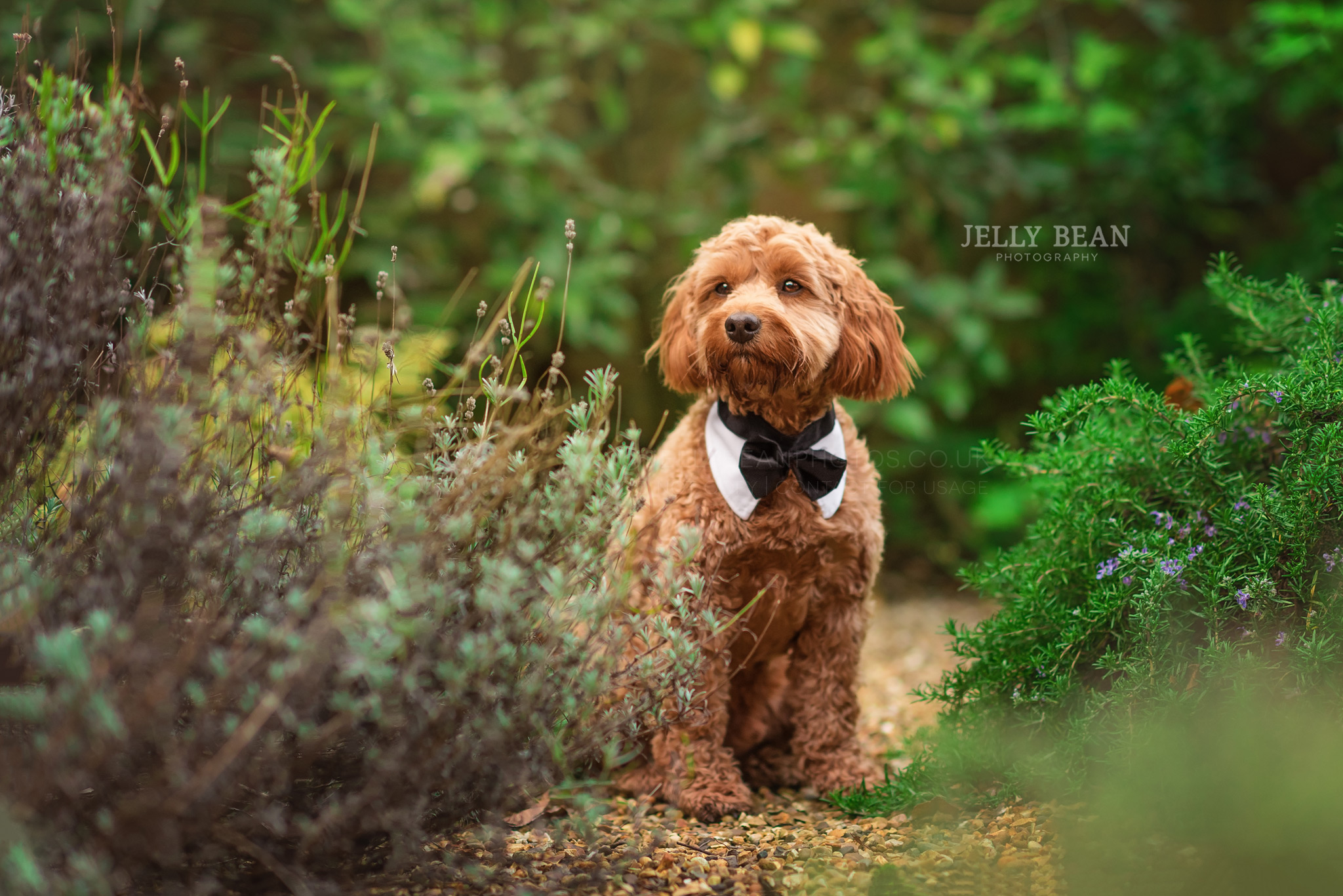 Cockapoo wearing black tie