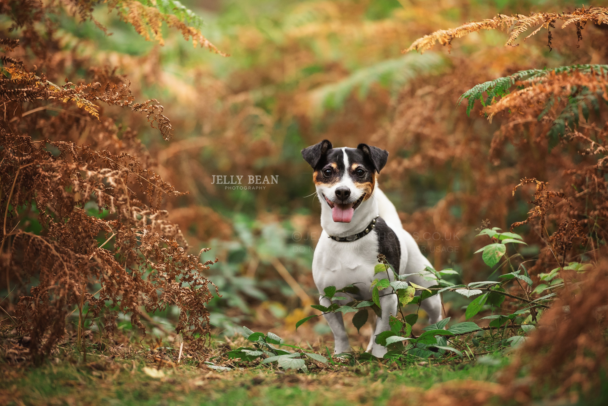 Jack Russell in the ferns