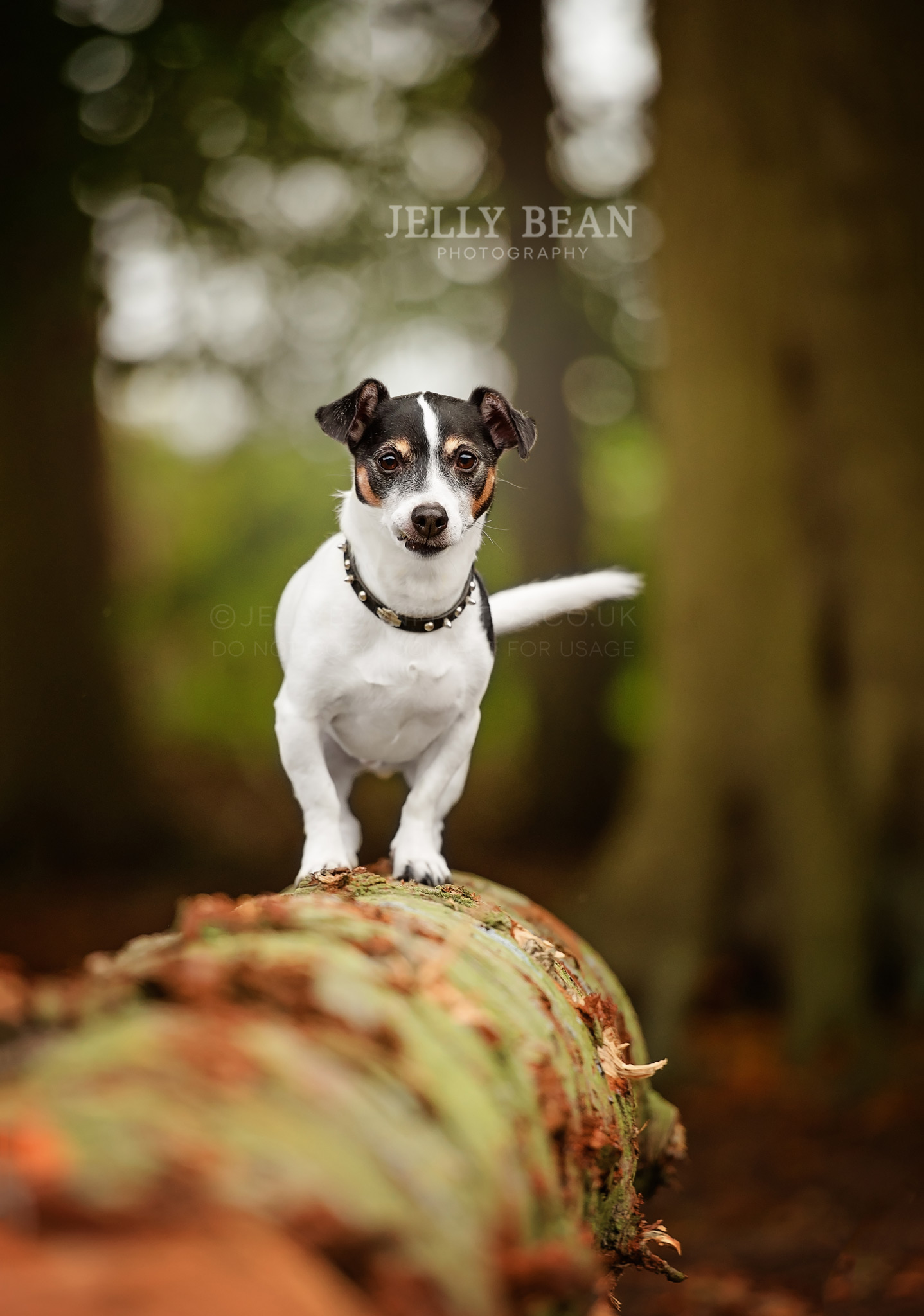 Jack Russell wearing studded collar