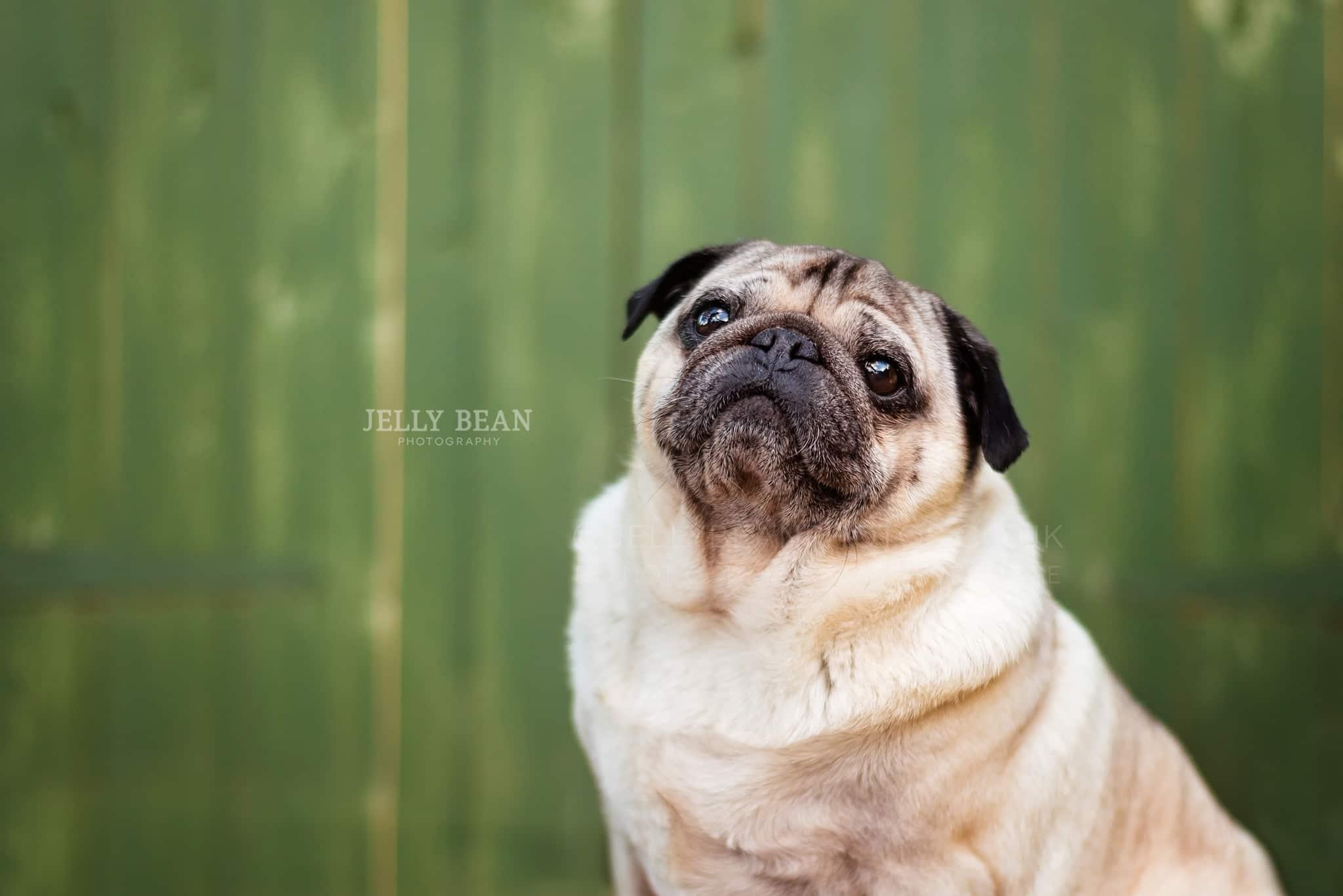 Pug posing for camera
