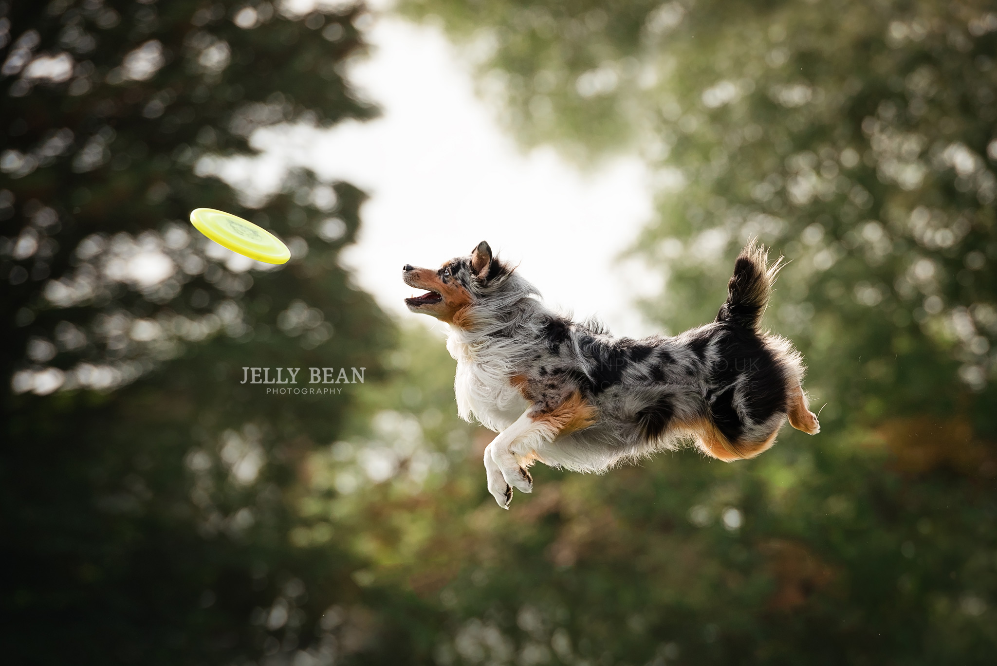 Australian sheepdog catching disc