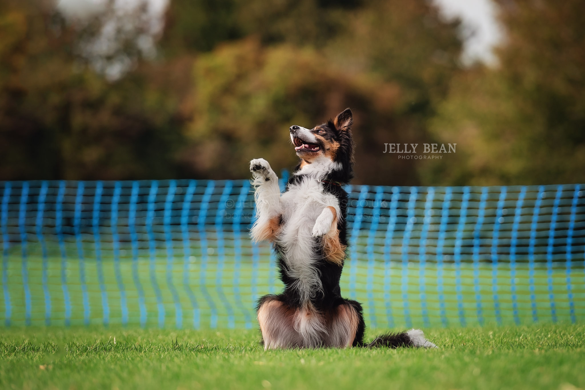 Border collie doing a trick