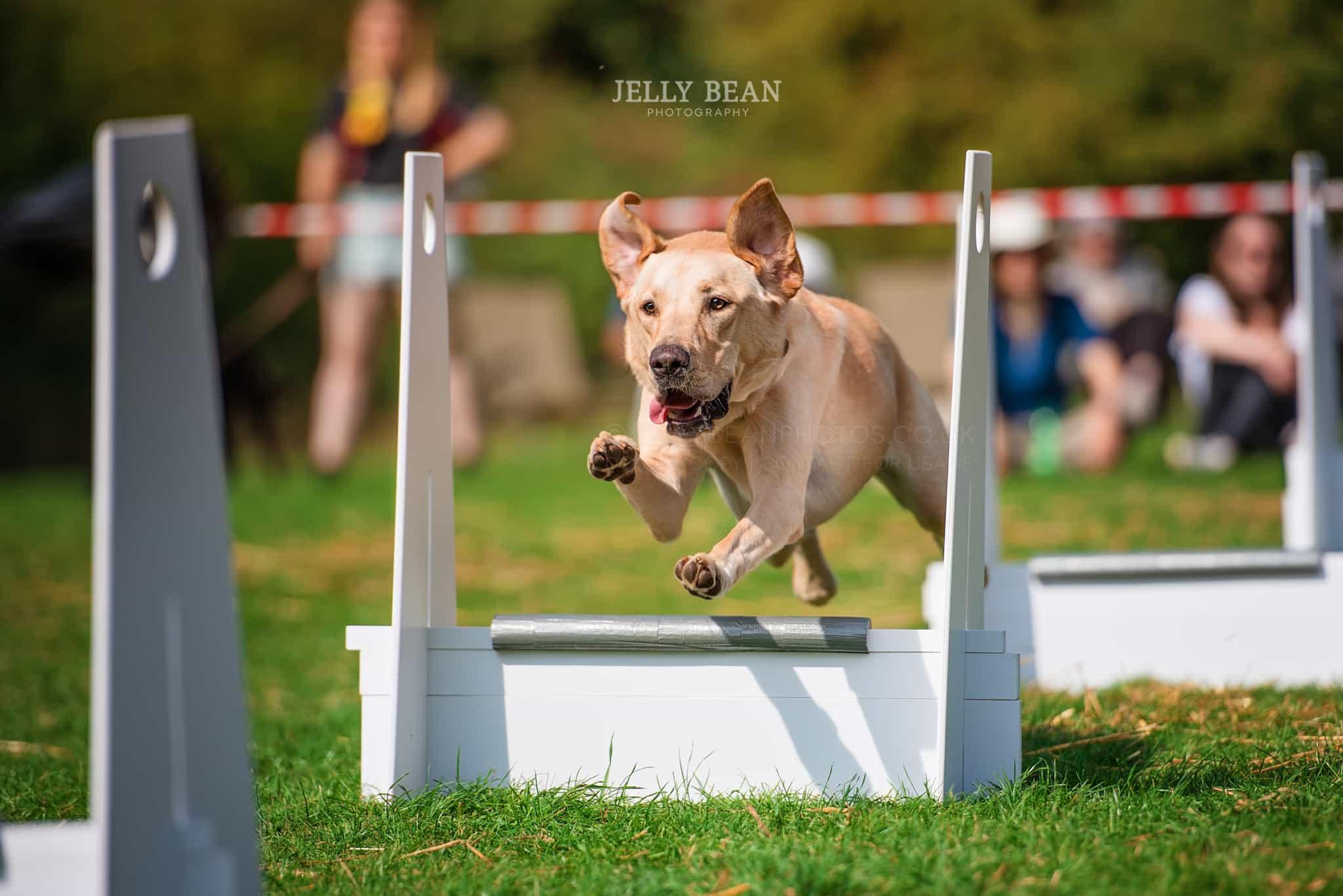Labrador doing flyball