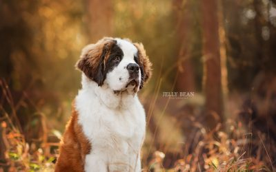 MR JANUARY | ELVIS THE ST BERNARD
