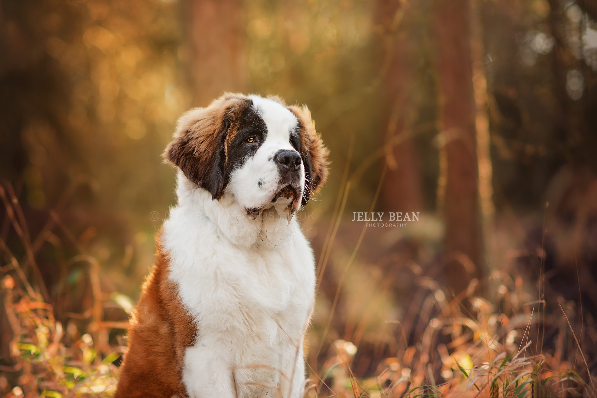 MR JANUARY: ELVIS THE ST BERNARD