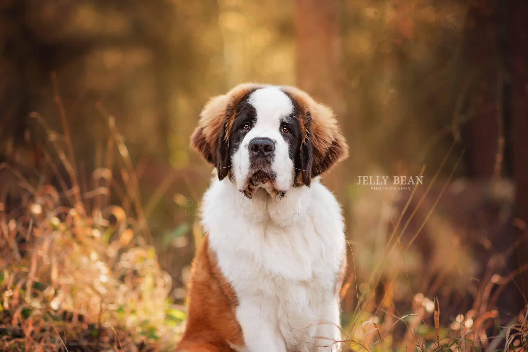 St Bernard puppy portrait