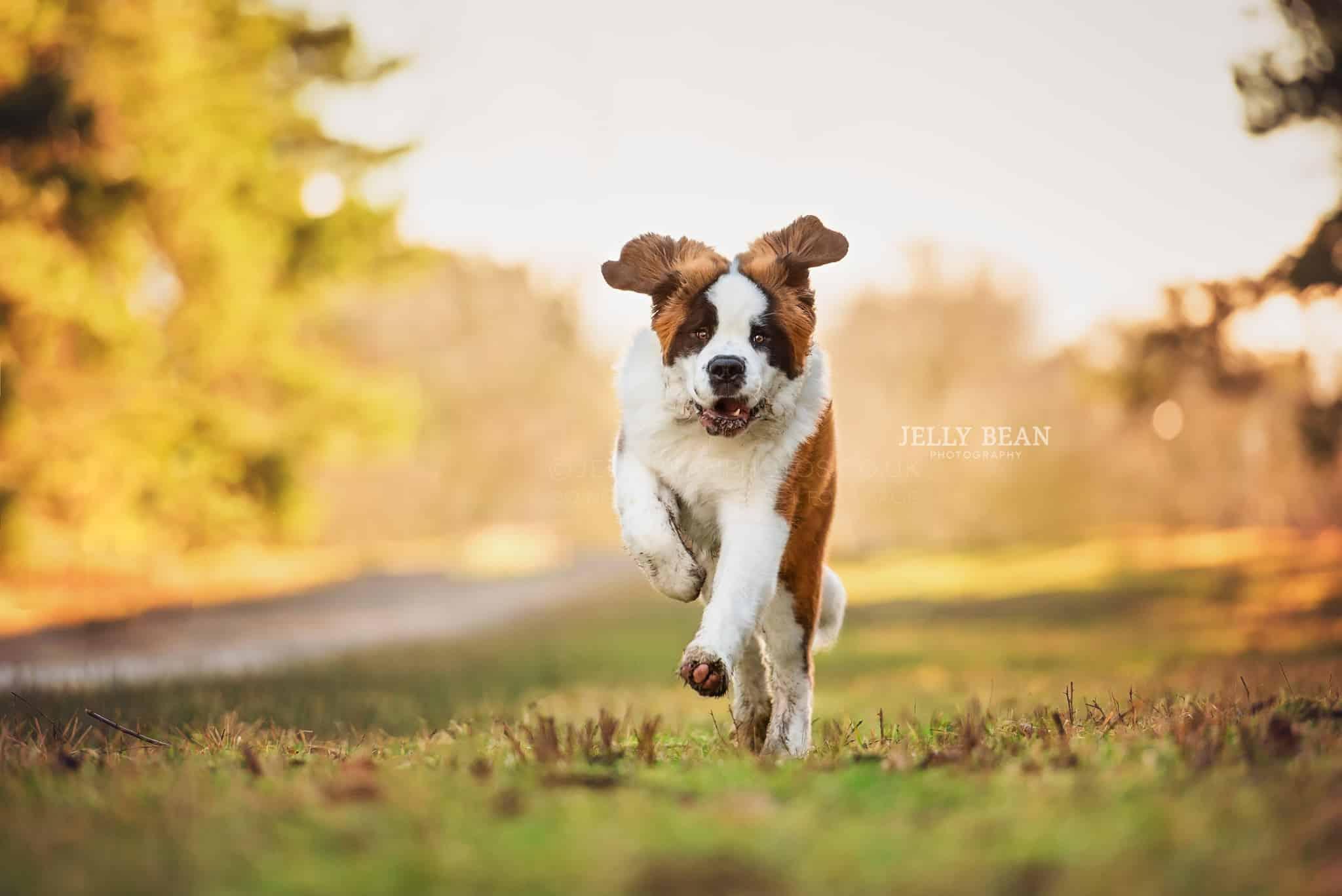 St Bernard puppy running