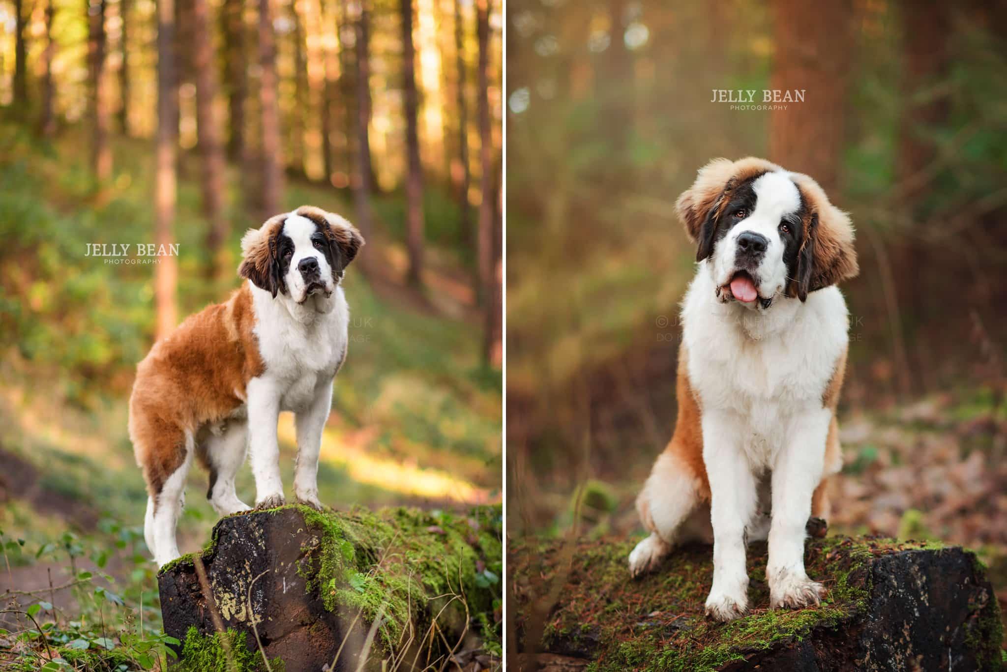 St Bernard puppy standing on a log