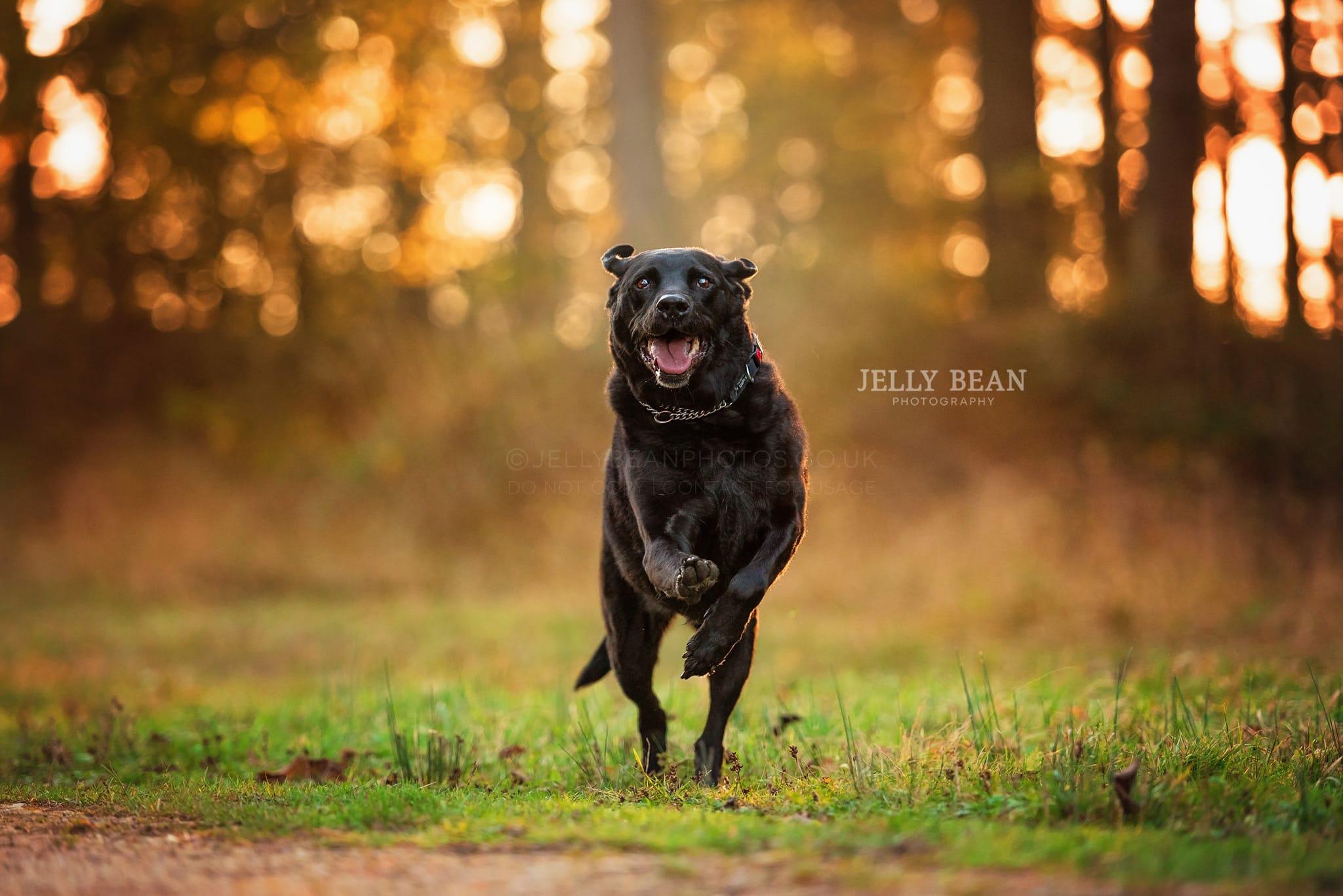 Black lab running