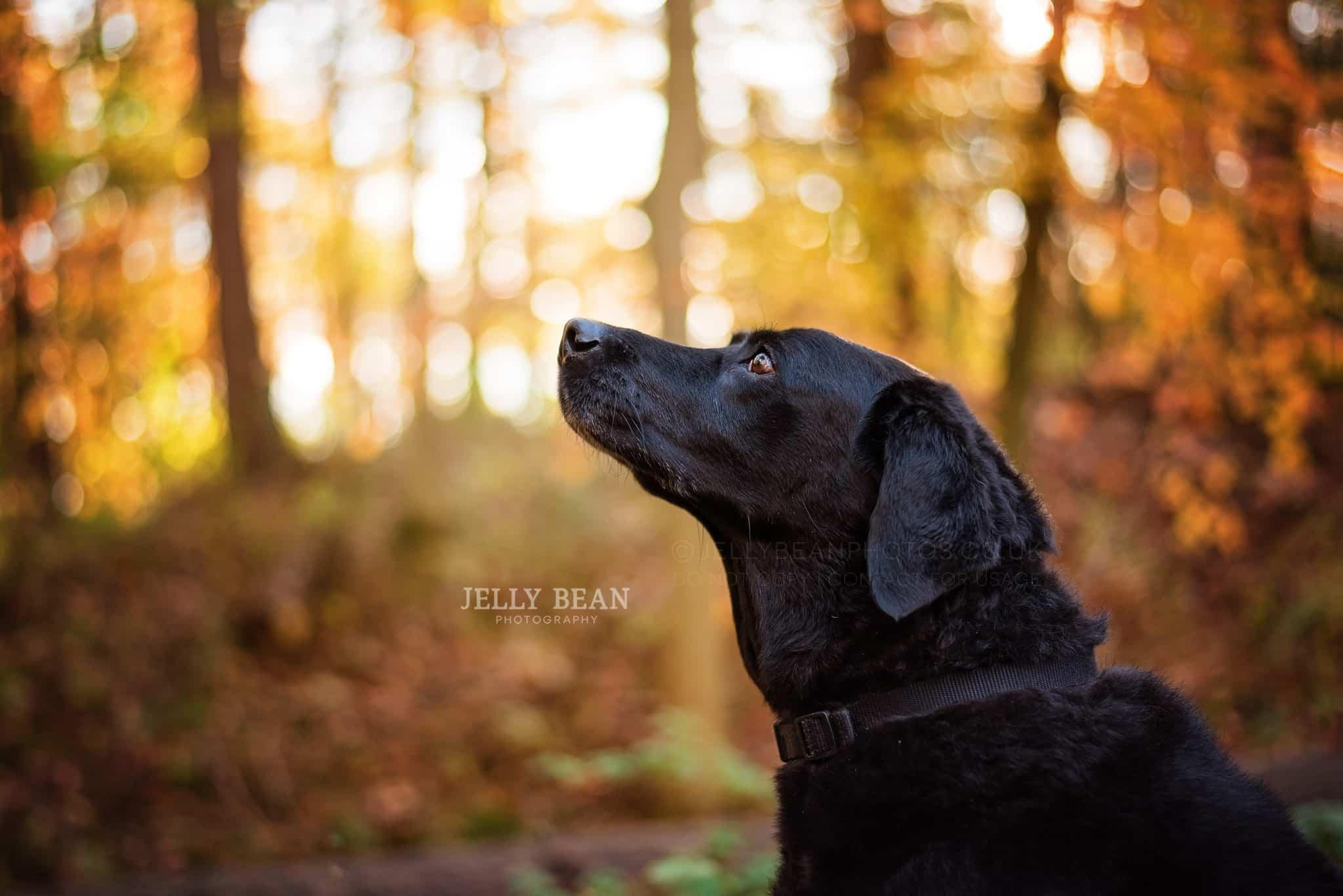 Black Labrador looking up at sky