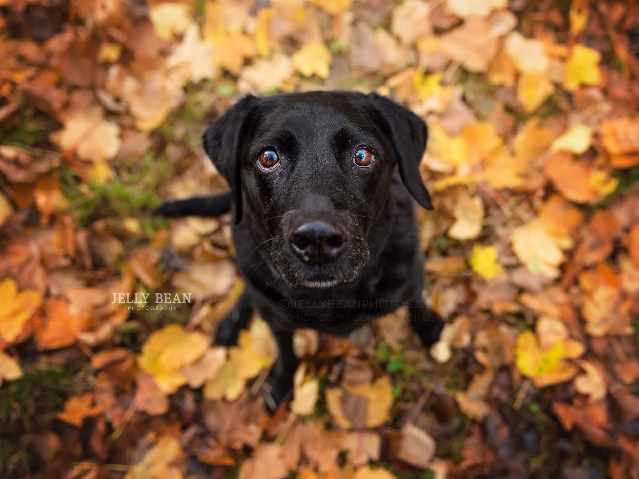 Black Labrador sitting in leaves