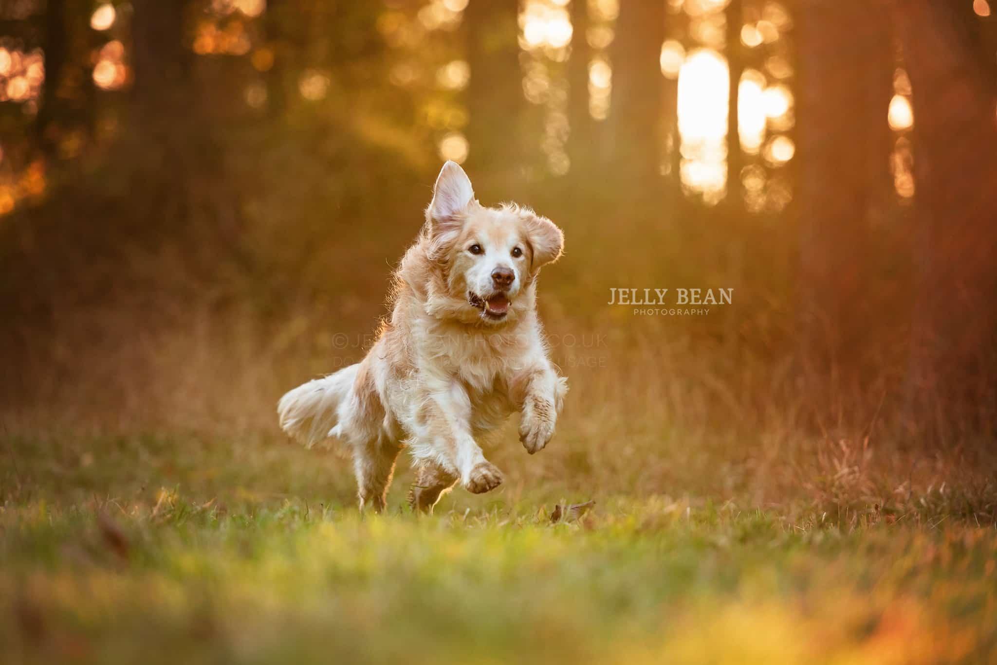 dog running in woods