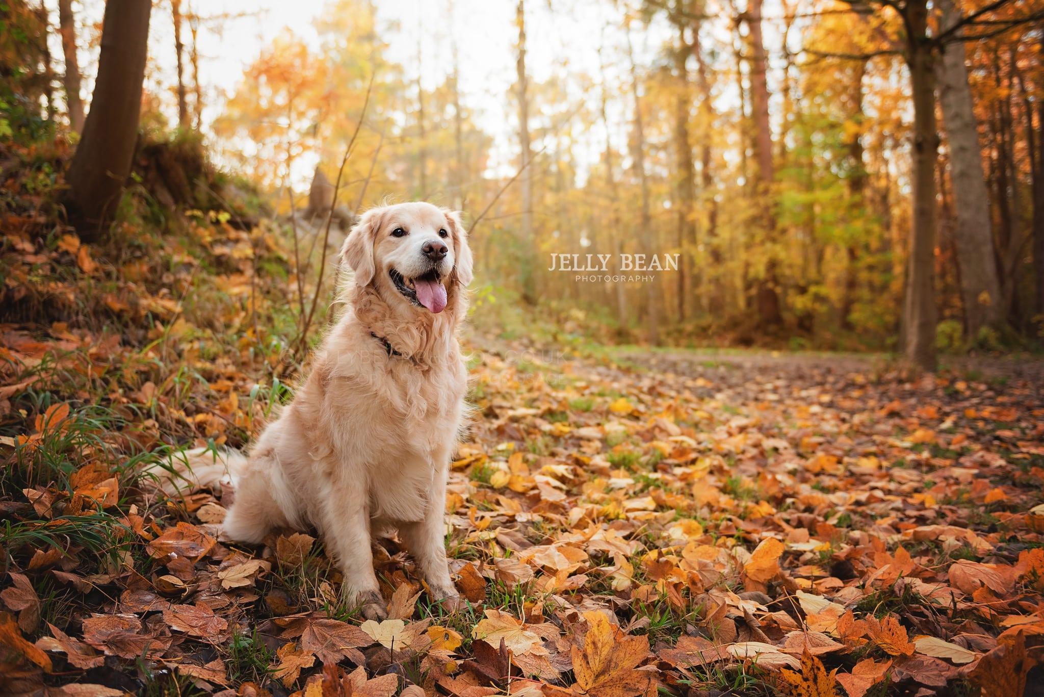 Golden Retriever sitting in leaves