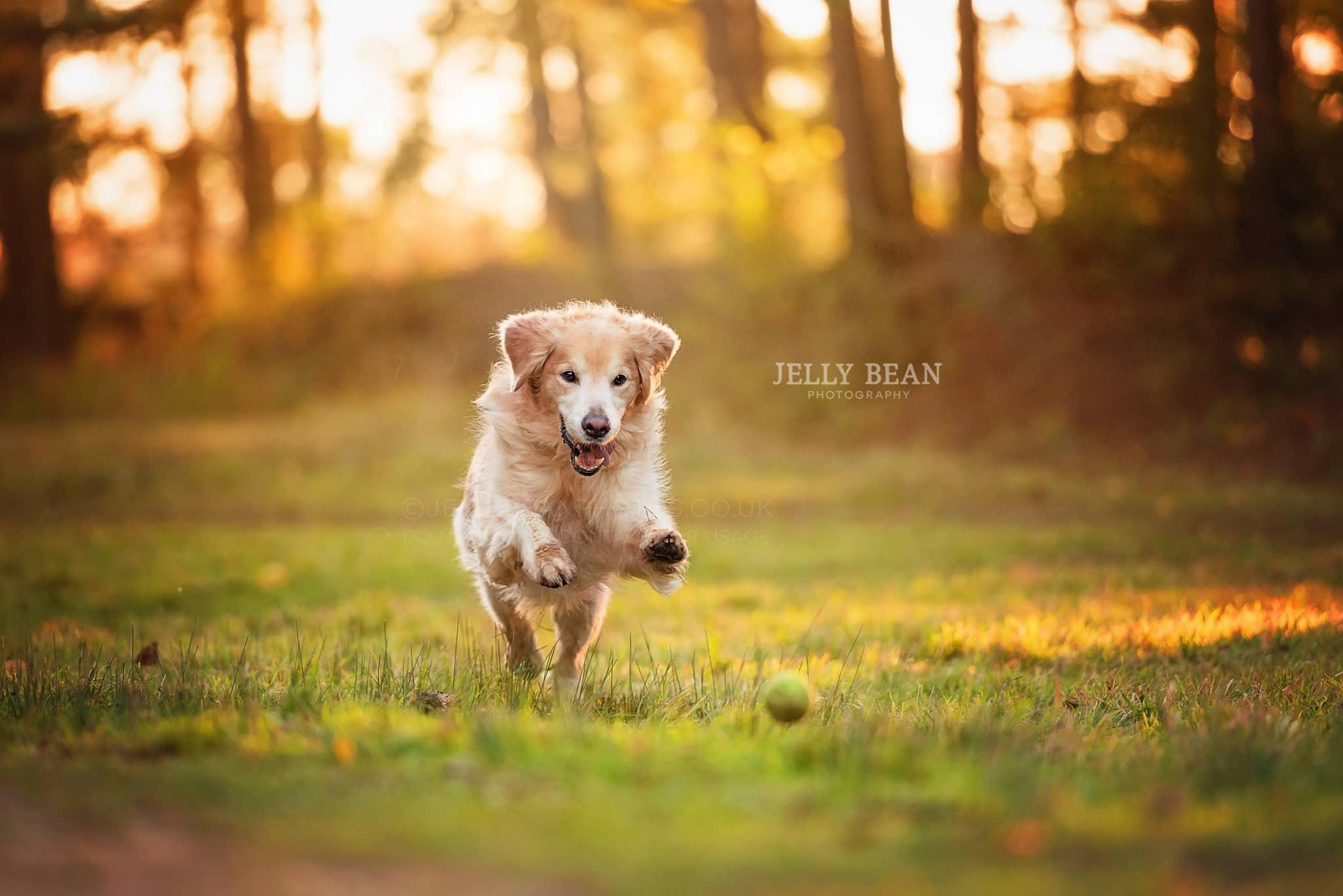 Golden Retriever chasing ball