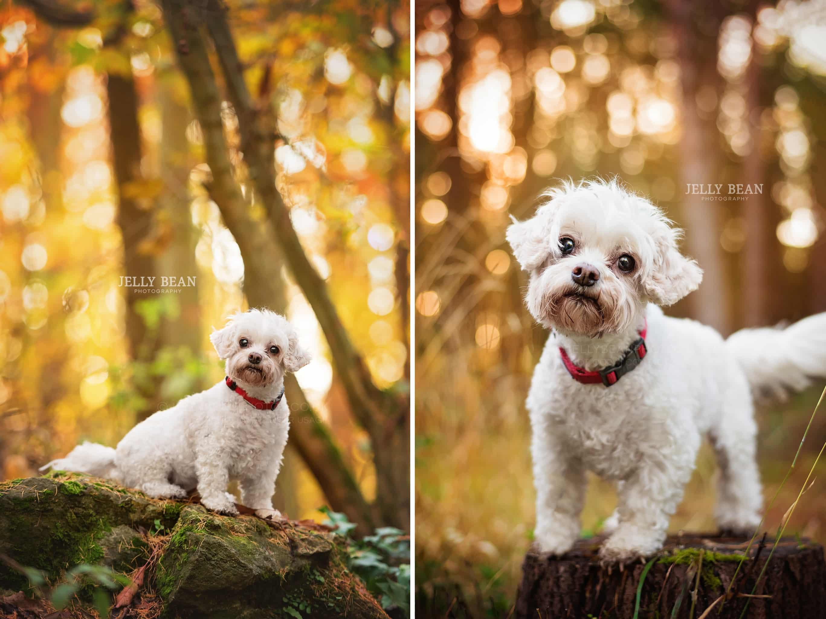 little white dog portrait