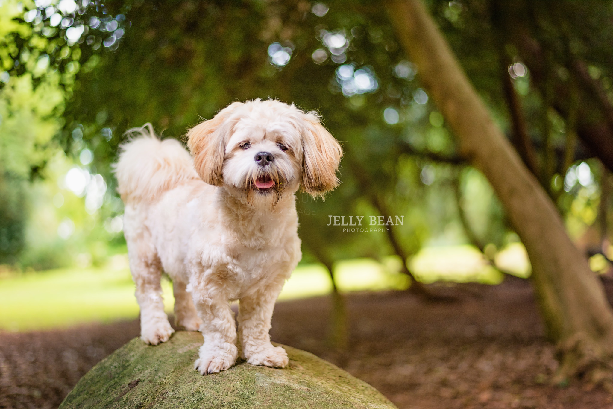 Shih Tzu puppy at delapre abbey