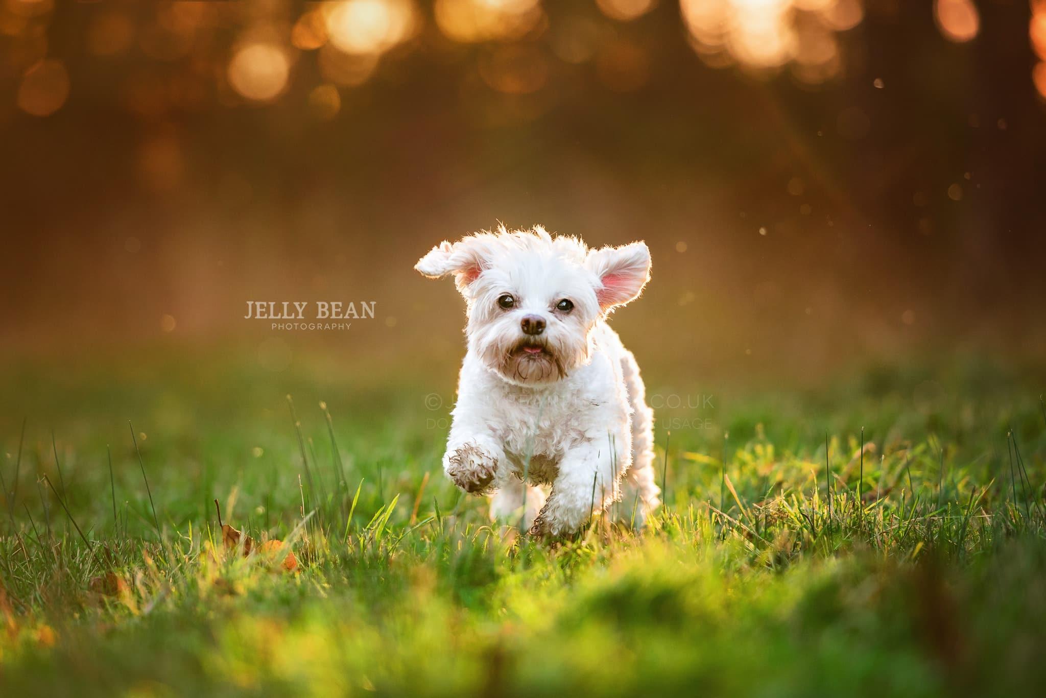 white crossbreed dog running