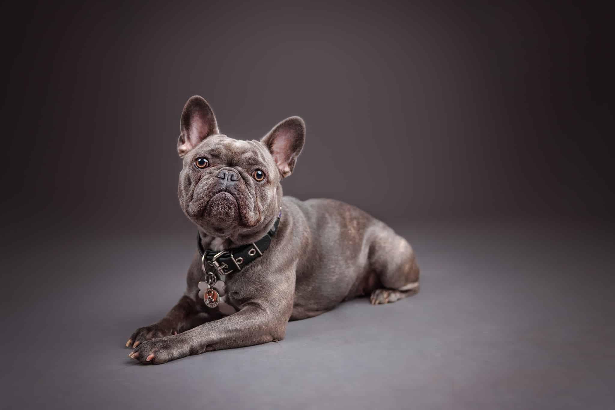 French-Bulldog-studio-photography
