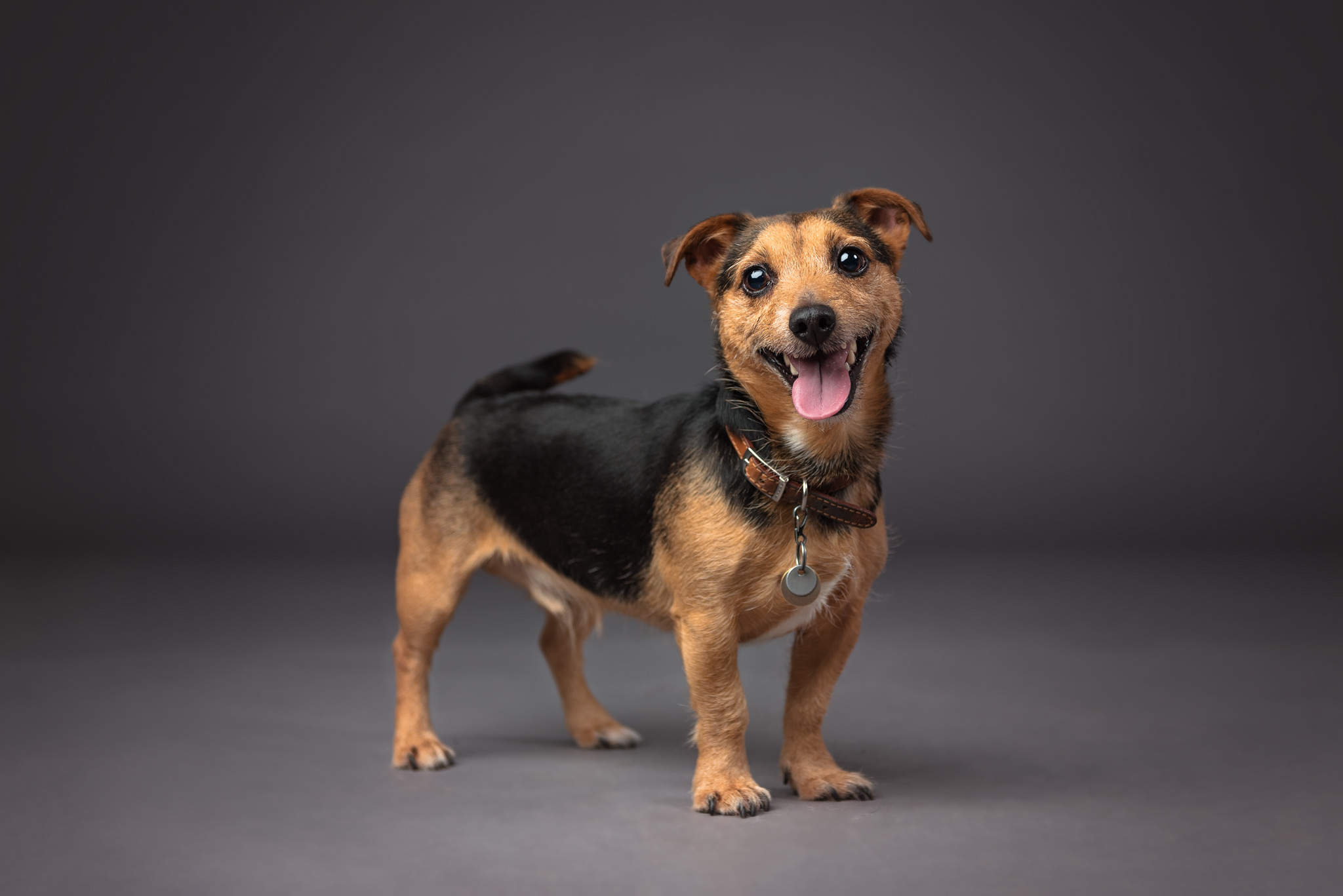 Jack Russell terrier in the studio