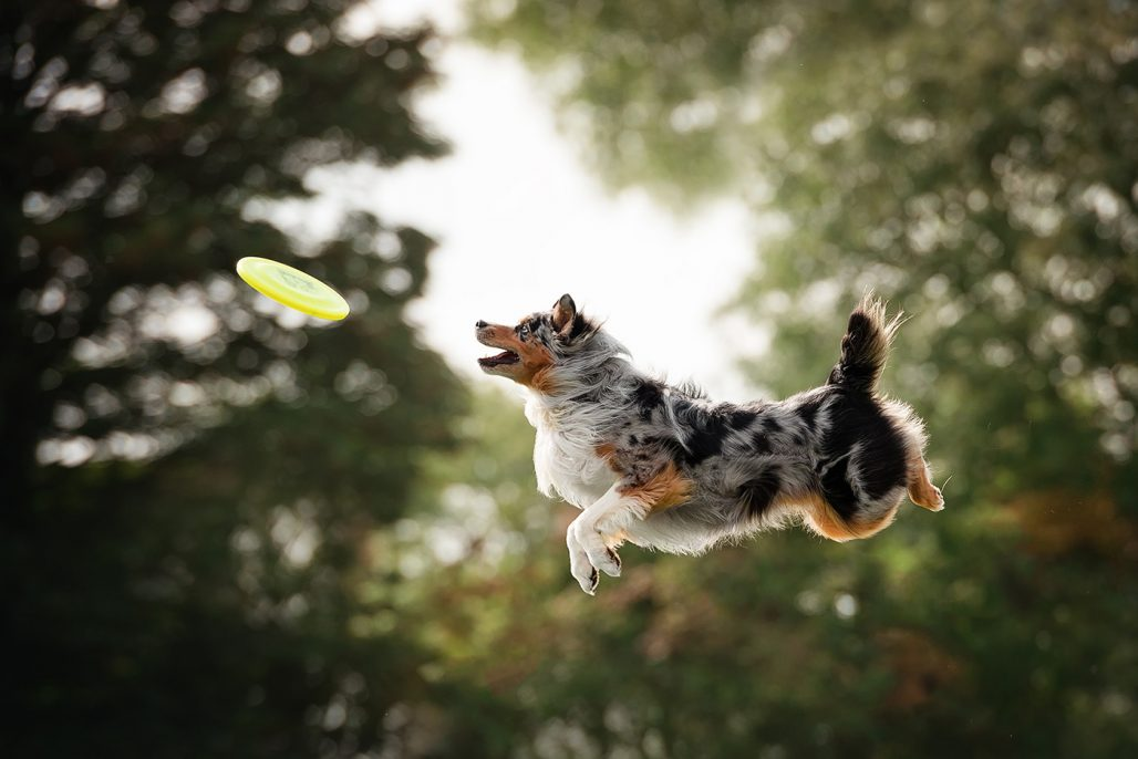 Autralian shepherd dog jumping to catch disc