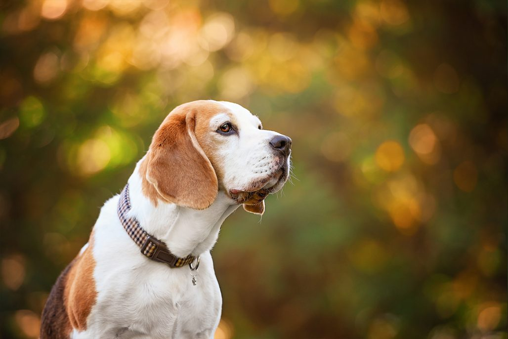 beagle hound sniffing the air