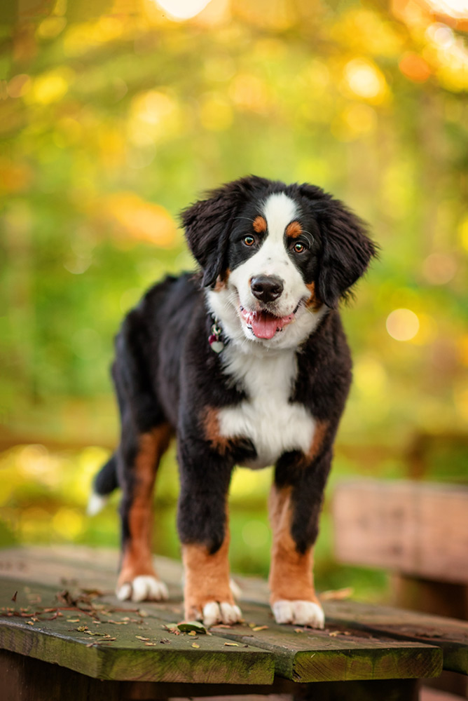 bernese mountain dog puppy standing on bench