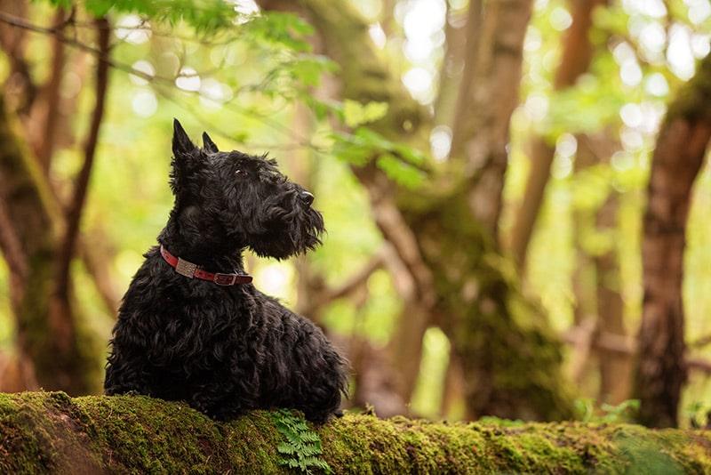 Black Scottie dog sitting on fallen tree in forest