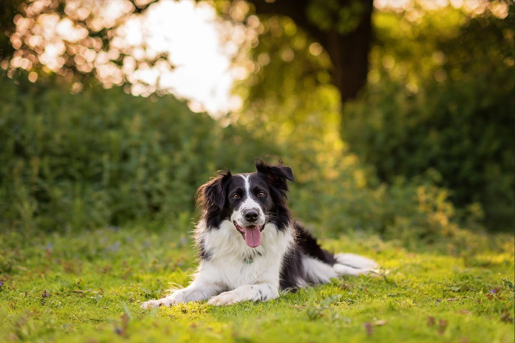 border collie sitting in summer meadow