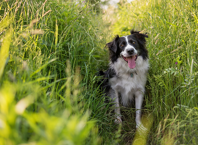 Border collie sitting in tall green grass