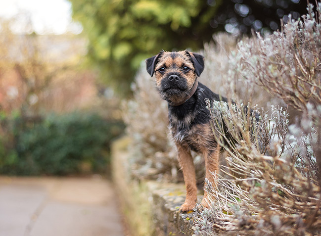 Border terrier puppy standing in garden
