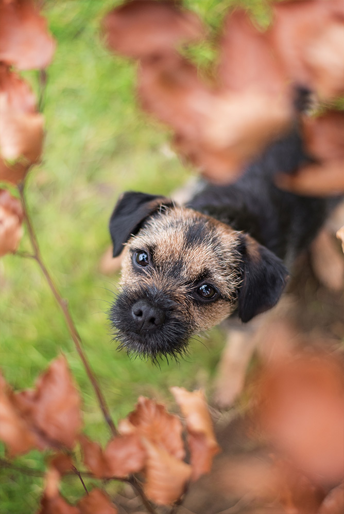 border terrier puppy looking up through leaves