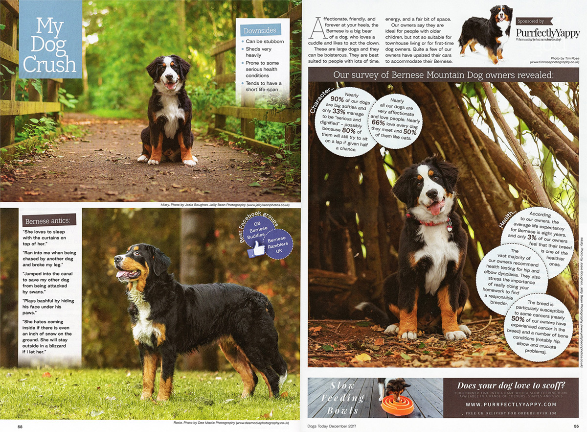 dogs-today-bernese-mountain-dog-issue