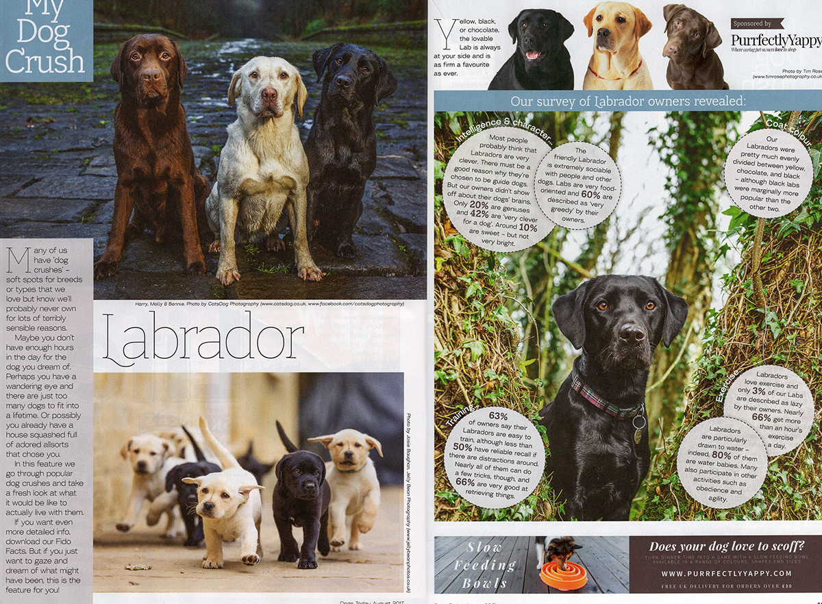 dogs-today-labrador-feature
