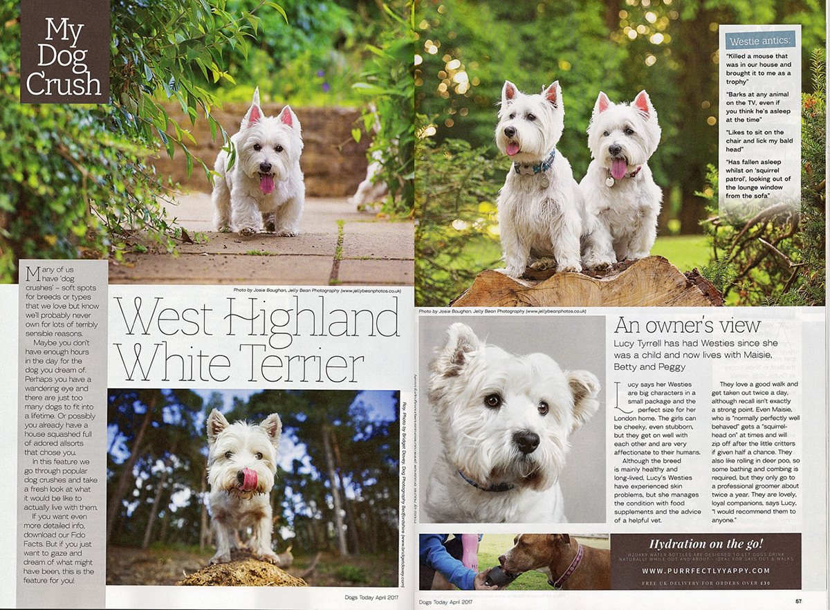 dogs-today-magazine-westies-feature