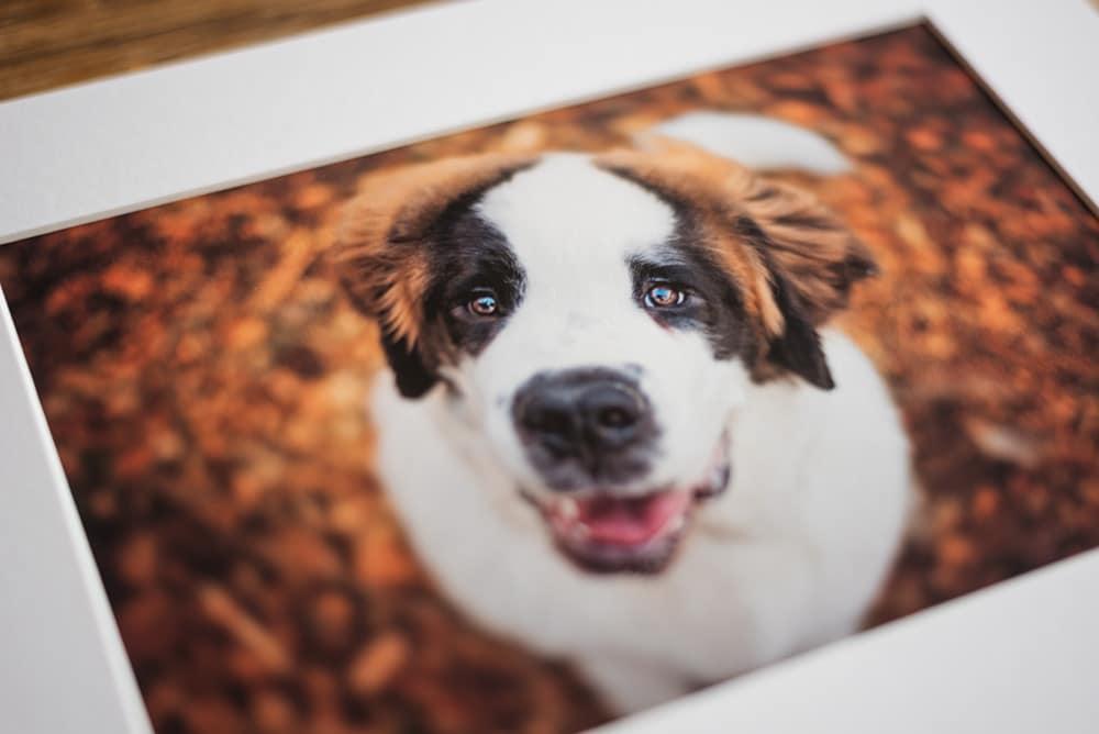 fine art print of st bernard puppy