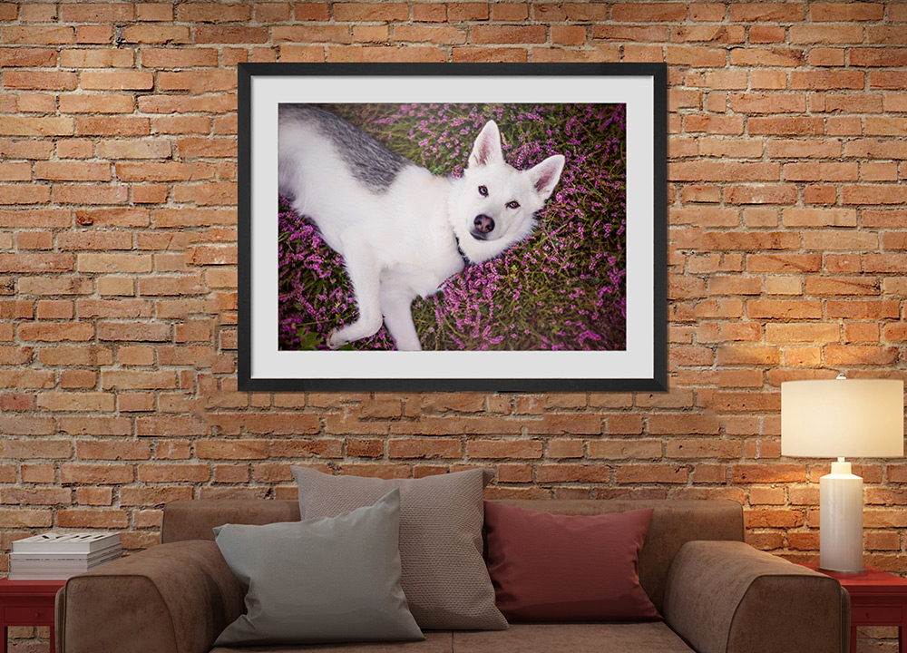 framed-print-of-husky-in-heather