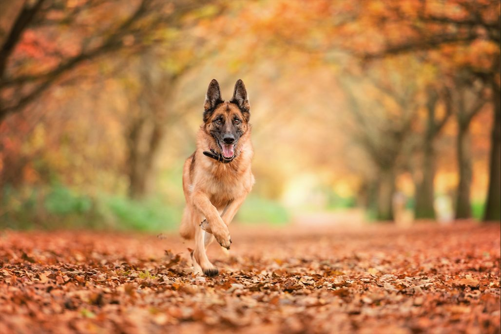 german shepherd dog running through autumn leaves