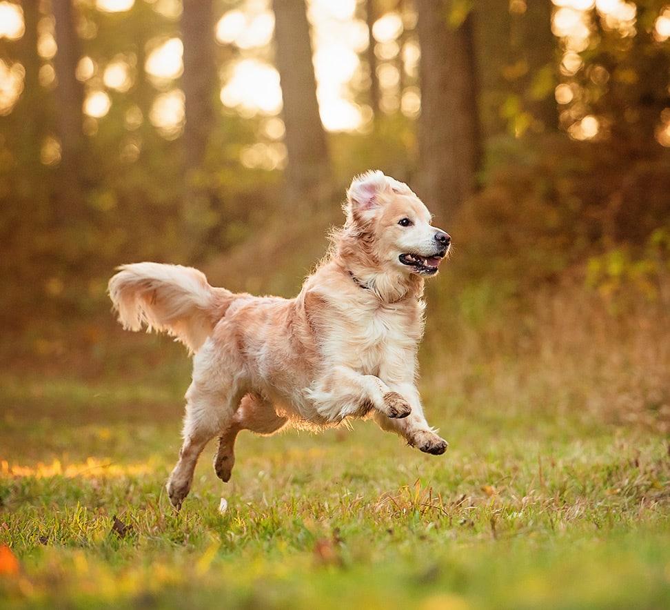 Golden Retriever running in woods