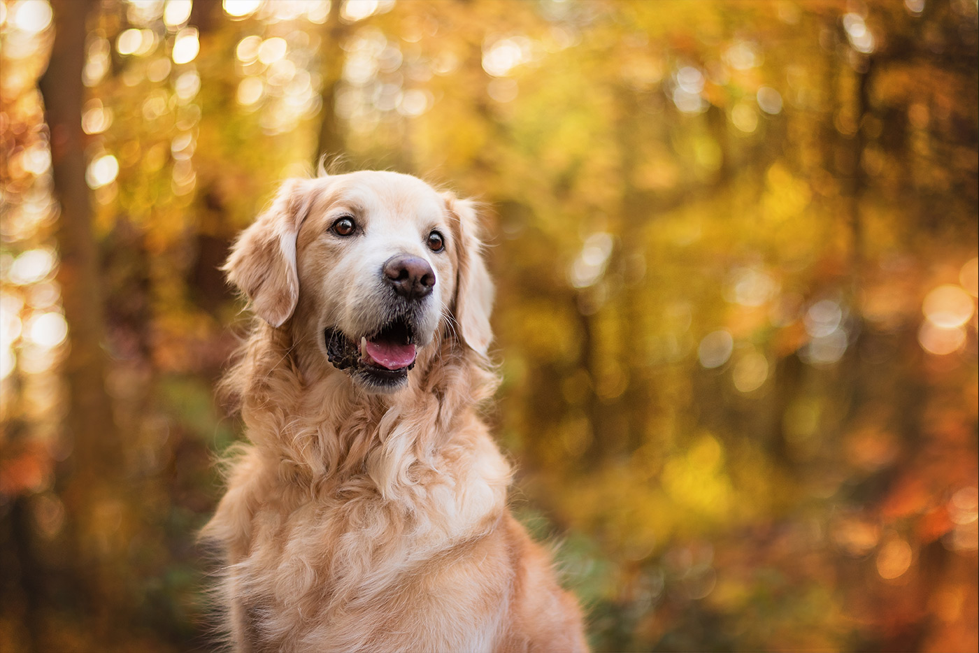 golden-retriever-sitting-in-autumn-woods