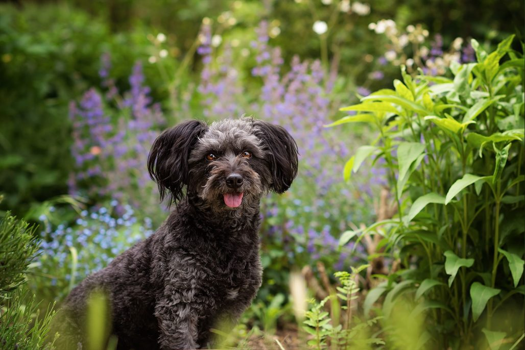 grey black cross breed dog sitting in summer flowers