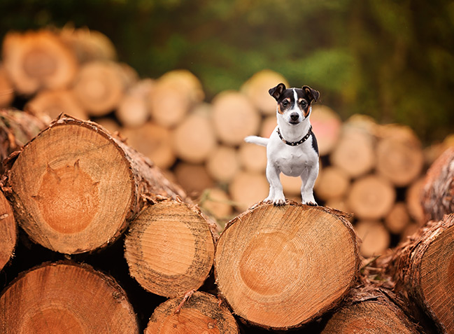 Jack Russell Terrier standing on log pile