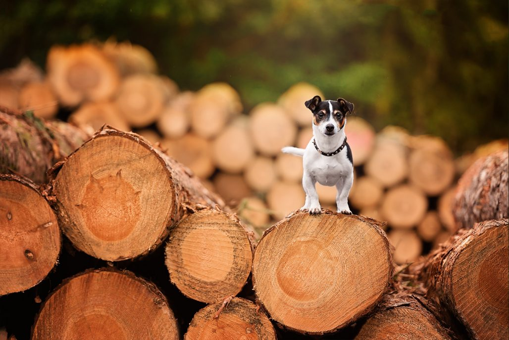 jack russell terrier standing on log pile